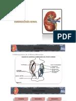 embriologia-urologia