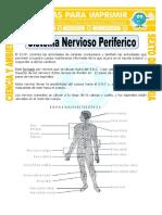 Ficha-Sistema-Nervioso-Periferico-para-Sexto-de-Primaria (1).doc