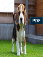 beagle cachorro.pdf