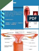 3.2.- A.g.f. Cuello Uterino Exocervix