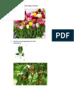 Bunga Yang Bereproduksi Dengan Umbi Lapis