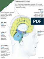 Efectos de la marihuana en el cerebro