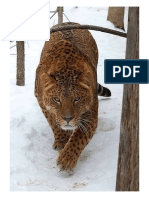 This is a Jaglion. the Offspring of a Male Jaguar and a Female Lion.