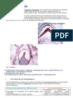 Dentinogénesis.docx