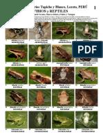 Peru-Anfibios y Reptiles Tapiche-blanco