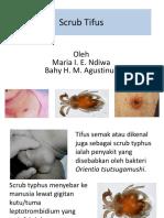 24. Scrub Tifus