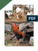 ayam 2