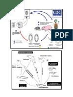 Ciclos de Parasitologia