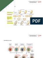 Recombinación-de-bacteria-de-forma.docx