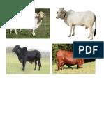 Baka o Cattle