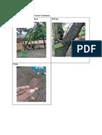 Bagus Longan Dimocarpus