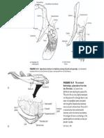 Pectoral Girdle Comparative Anatomy - Figures