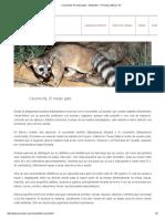 Cacomixtle, El Medio Gato - Newsletter - Pronatura México, AC
