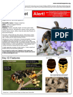 How to ID the Asian Hornet