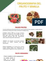 organografia del fruto y semilla 2