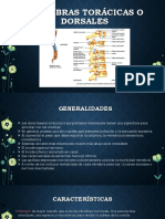 Vértebras Torácicas o Dorsales