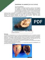 Enfermedades Bacterianas en Camote y Rabano