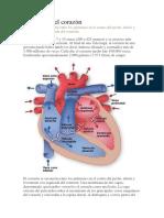 Anatomía Del Corazón