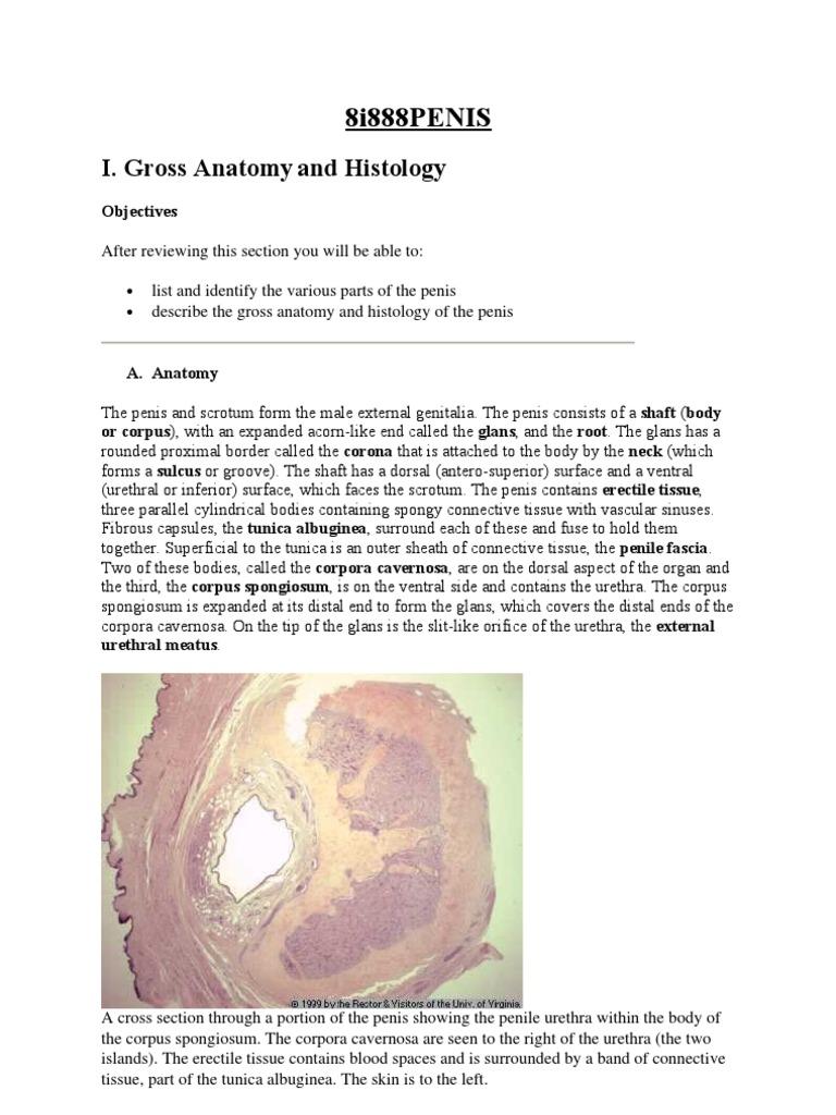 Disorders Of The Penis Clitoris Penis