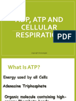 ADP ATP and Cellular Respiration