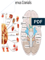 anatomi nerve cranialis