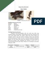 Sargassum polycystum2