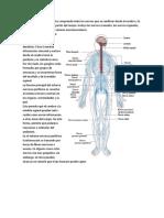 El Sistema Nervioso Periférico Comprende ..