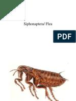 Siphonoptera Fleas