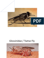 5 Glossinidae Tsetse Fly