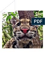 Tiny Clouded Leopard Close Up...