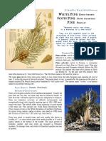 Pine Pinus Sp materia medica herbs