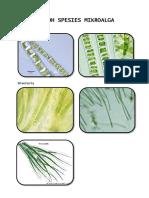 Contoh Spesies Mikroalga 1