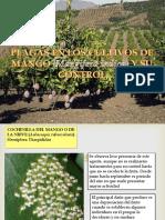 Plagas en El Cultivo de Mango