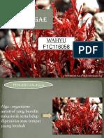Alga Merah (Wahyu, f1c116058)