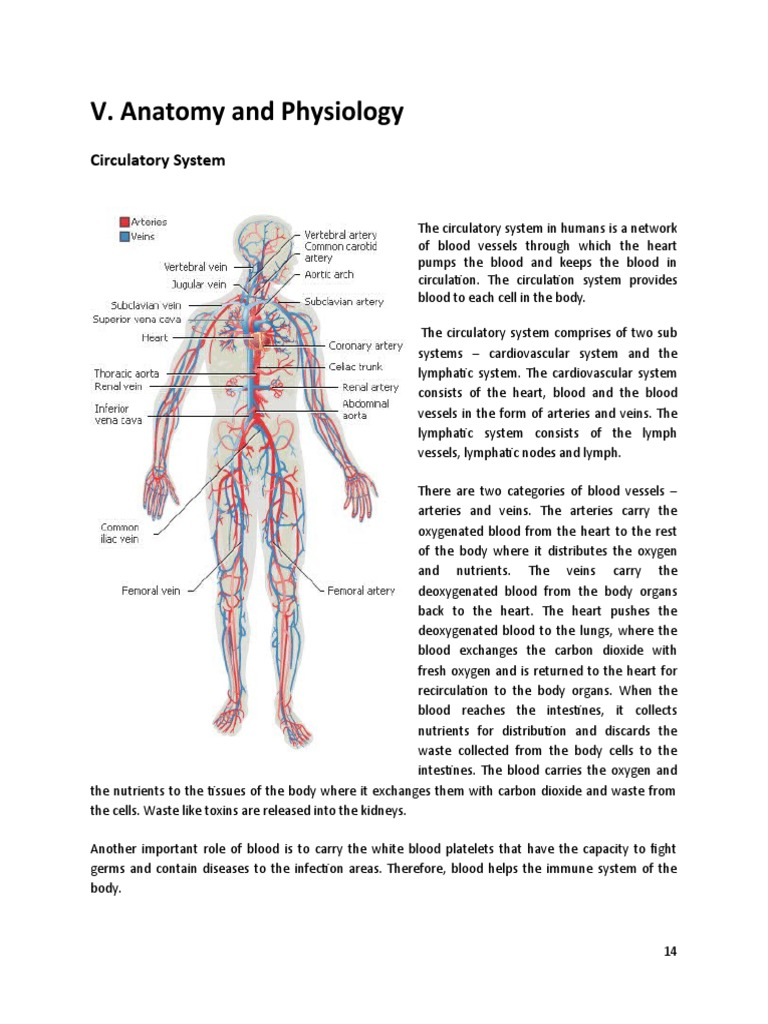 Anatomy And Physiology Dengue Fever