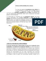 Funcion de La Mitocondria en La Celula