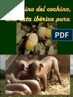 El Cerdo Iberico Engordado Con Bellotas