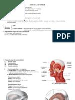 documents.tips_sinteza-sistemul-muscular.pdf
