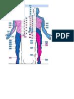 385636509-Dermatomas.pdf