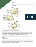 articulaciones del craneo -suturas.pdf