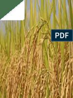 Crop-Rice