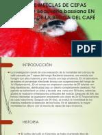 MEZCLA DE CEPAS DE HONGOS PARA EL CONTROL DE LA BROCA DEL CAFE