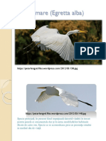 Egreta Mare (Egretta Alba)