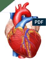 Gambar Jantung Print