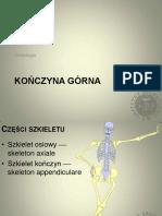 Osteologia - kończyna górna
