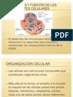 MORFOLOGÍA Y FUNCIÓN DE LOS COMPONENTES CELULARES