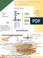 Lipopolisacaridos y Sus Partes, Funcion y Estructura.