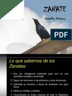 Zanates. Biologia Habitos y Control (1)
