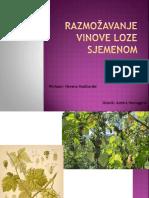 Razmožavanje vinove loze sjemenom Asmira.pptx
