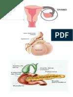 Imag. Hormonas y Organos